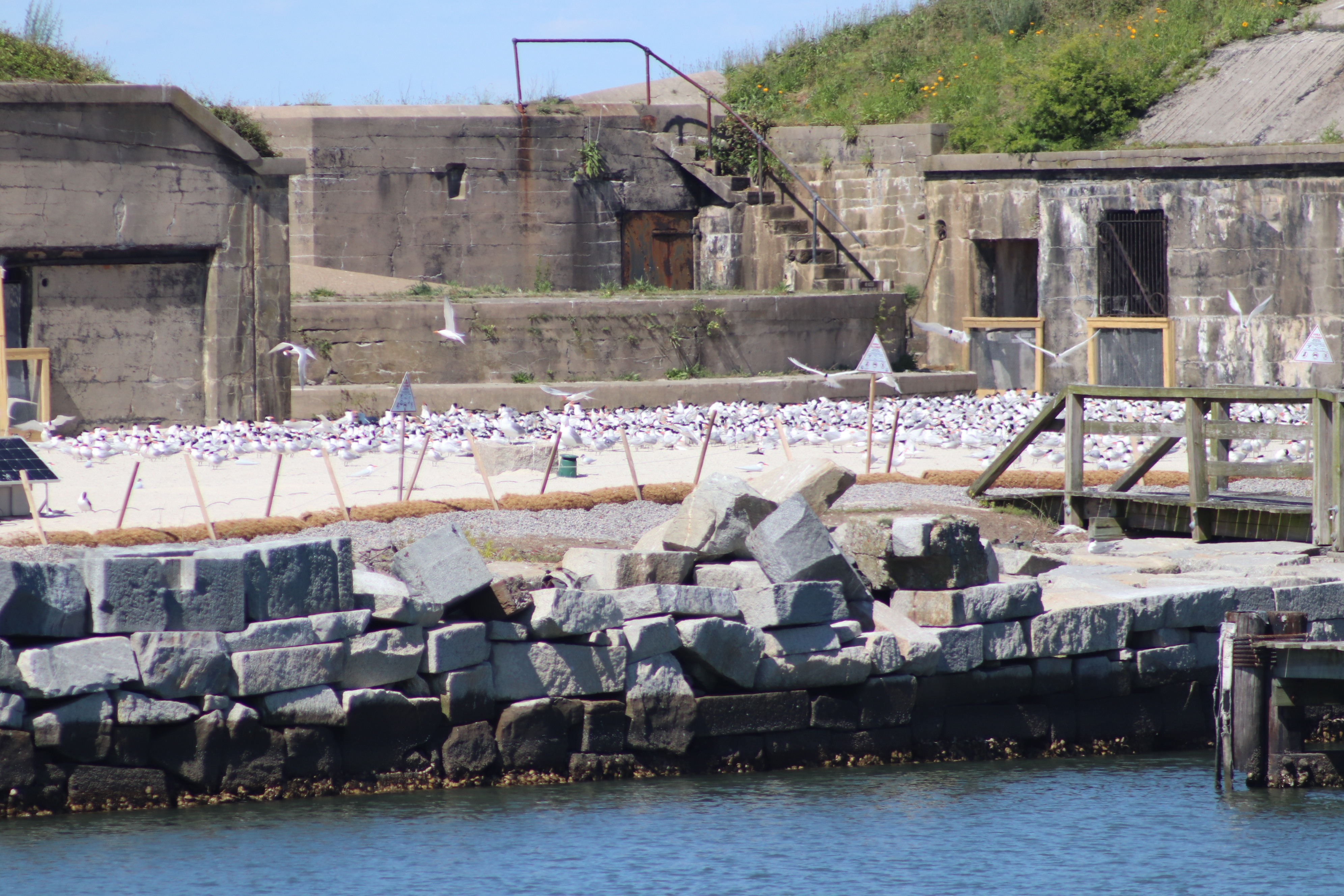 PHOTO: Seabirds relocated to Ft. Wool
